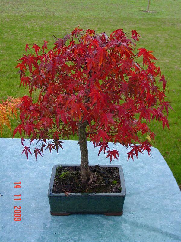 photo bonsai erable palmatum deshojo. Black Bedroom Furniture Sets. Home Design Ideas