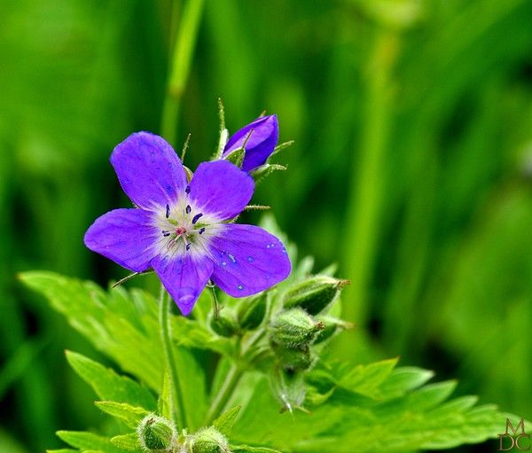 Fleur bleue ou violette geranium des bois centerblog - Image fleur violette ...
