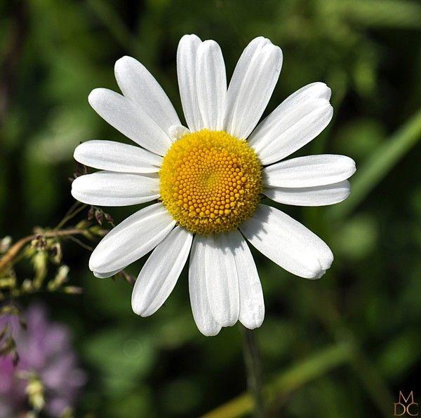 Fleur blanche ou creme grande marguerite centerblog - Image fleur marguerite ...