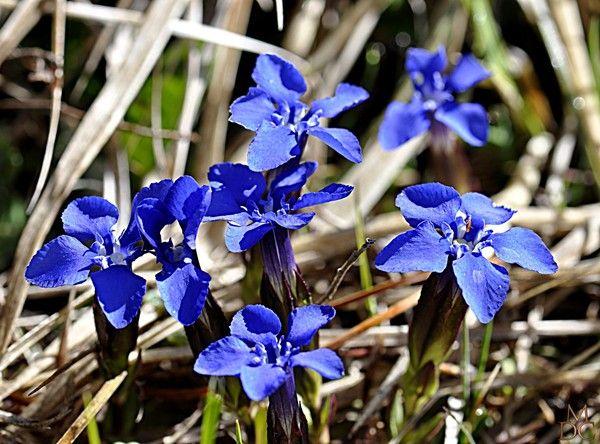 fleur bleu dessin