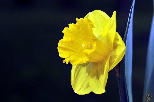 fleur jaune ou orange jonquille narcisse - Fleur Jonquille
