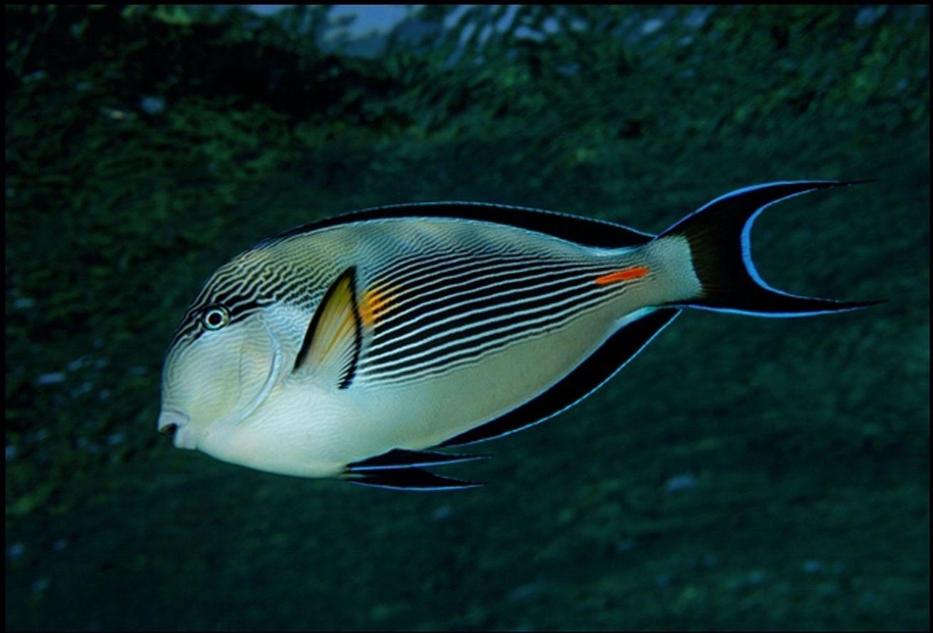Poisson chirurgien sohal ou de la mer rouge for Ou trouver des poissons rouges