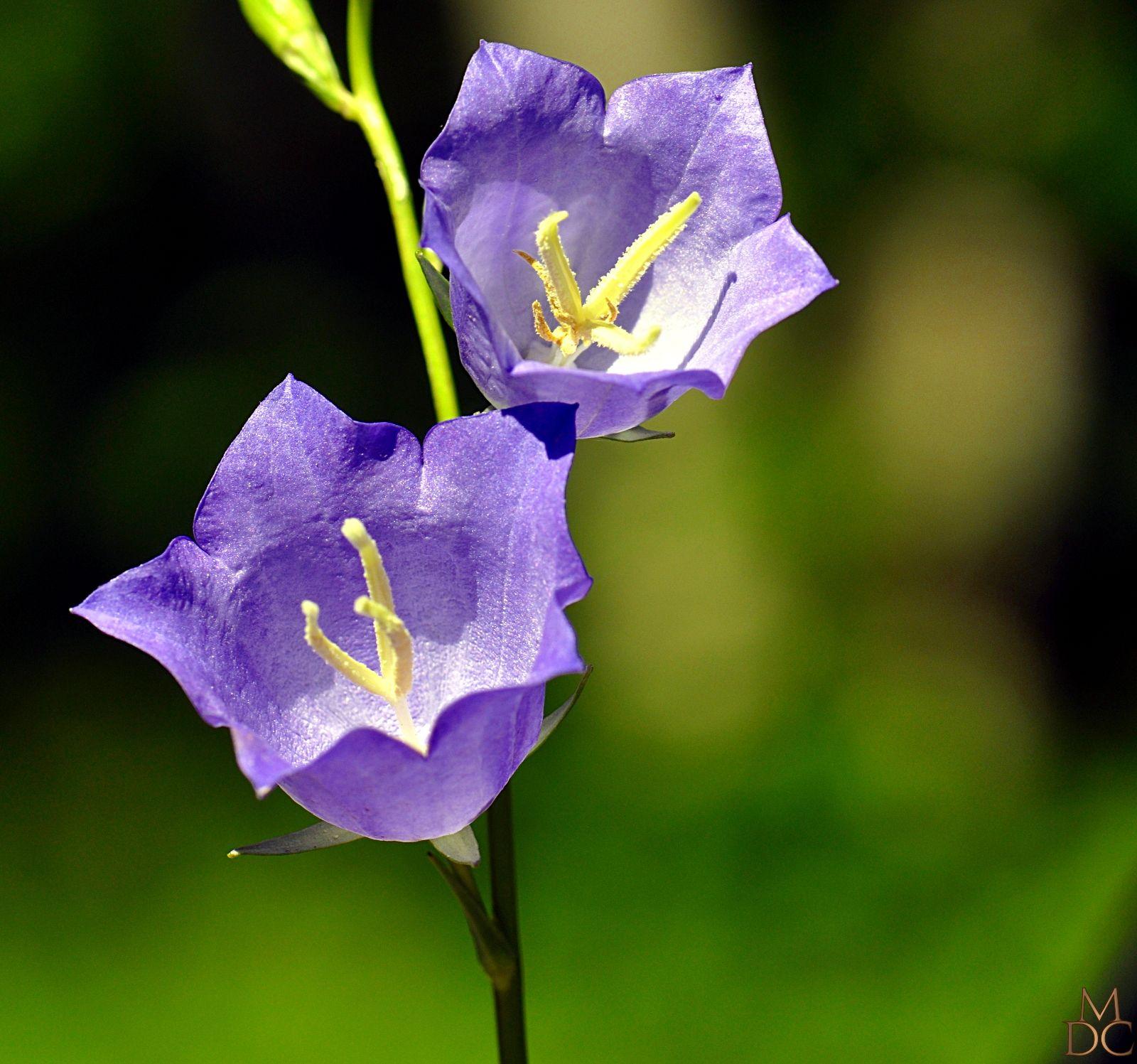 Fleurs bleues ou violettes page 4 - Fleurs bleues grimpantes ...