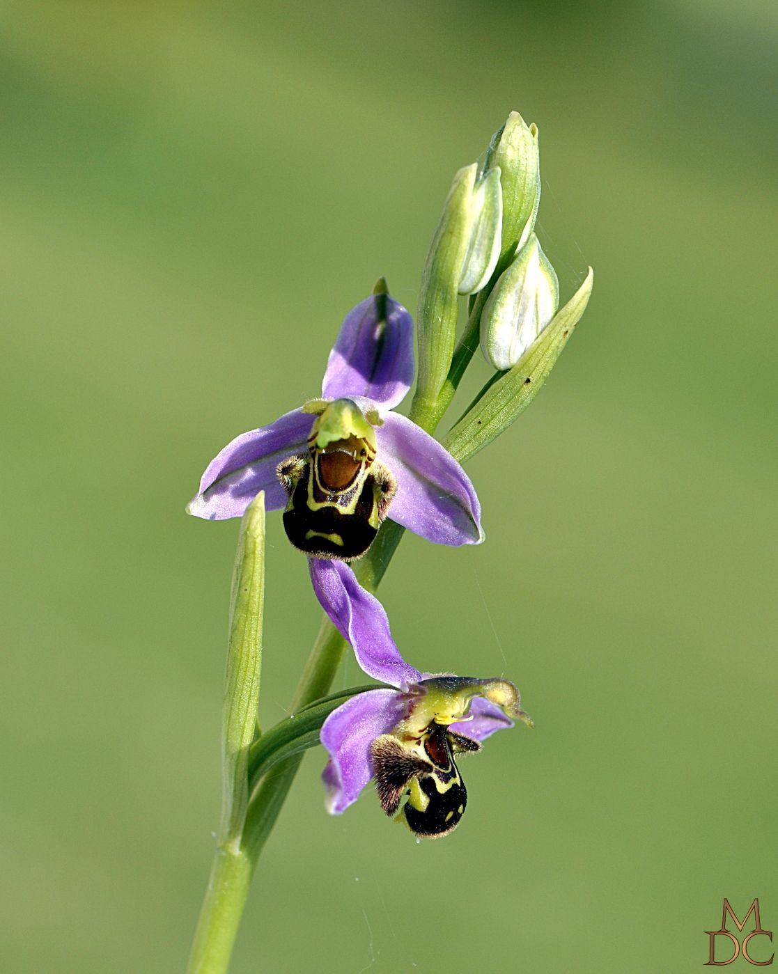 fleurs orchidees sauvages ophrys orchis page 2. Black Bedroom Furniture Sets. Home Design Ideas