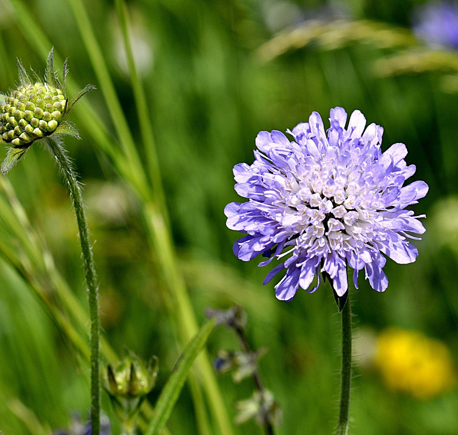 fleur bleue ou violette knautie scabieuse. Black Bedroom Furniture Sets. Home Design Ideas