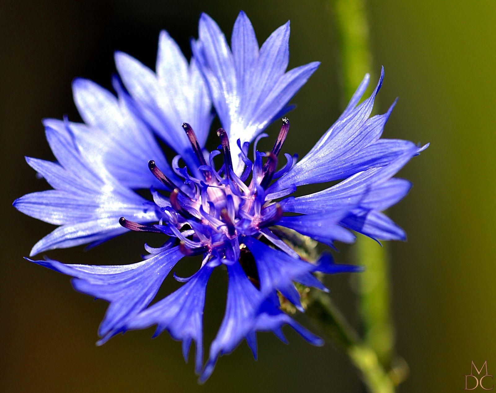 Fleur bleue ou violette centauree bleuet des champs - Image fleur violette ...
